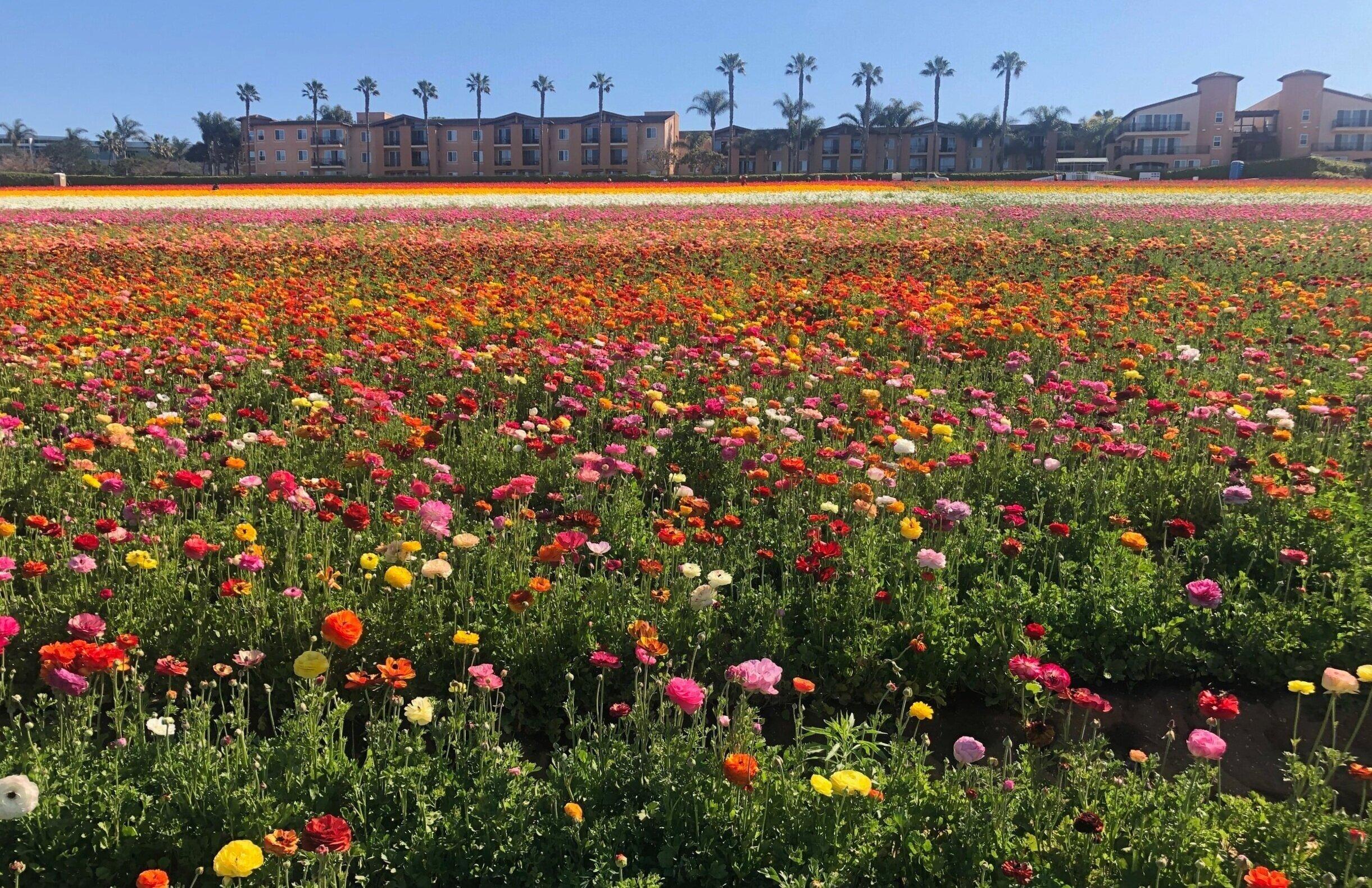 carlsbad_ranch_flower_field.jpg
