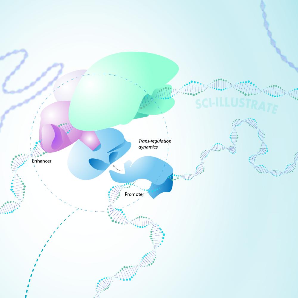 Enhancer-gene promoter trans-regulation dynamics - 2D ILLUSTRATION