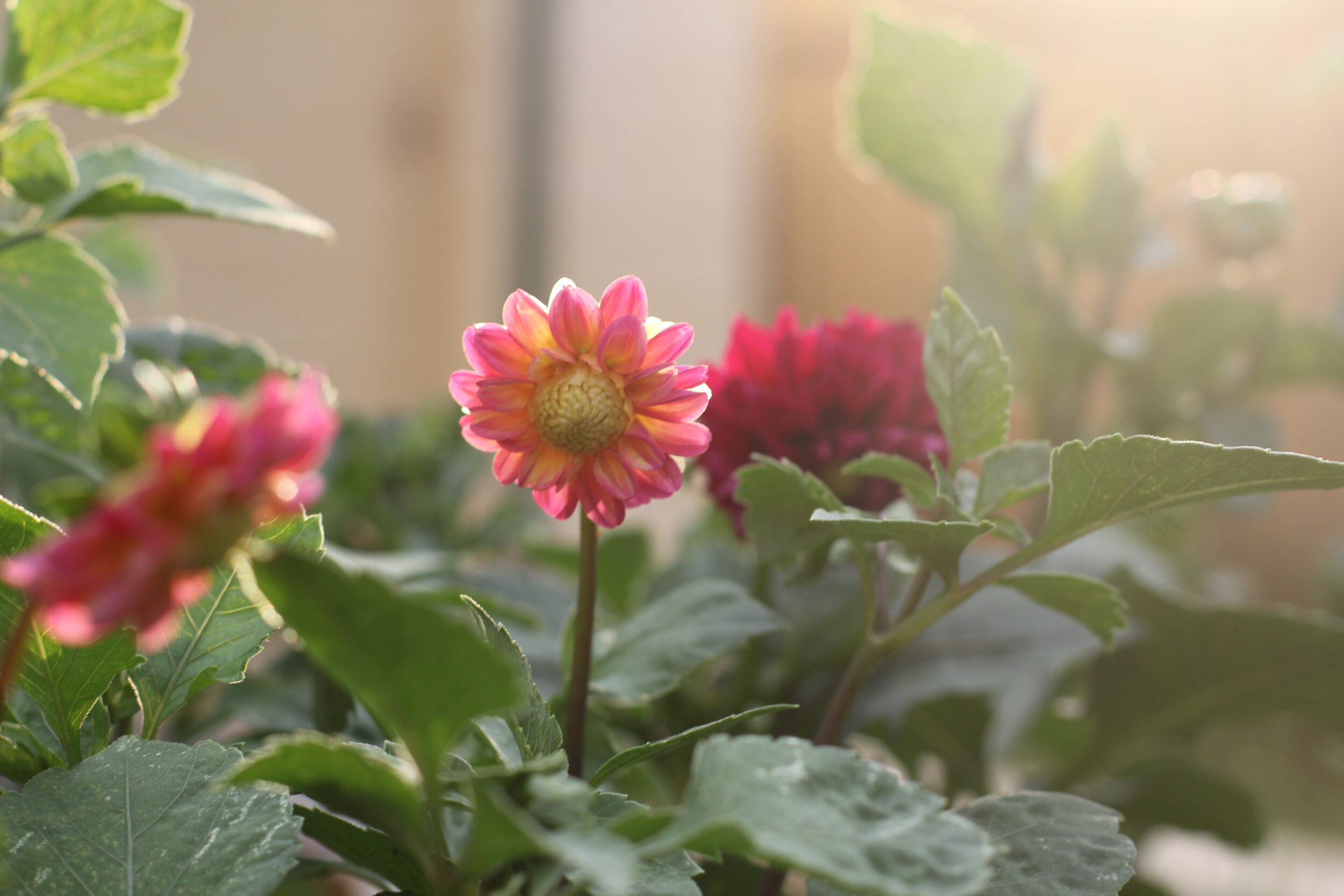 Growing Dahlias From Seed The Little