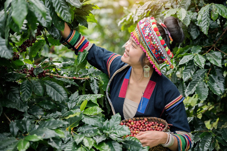 Lahu girl picking coffee cherry.png