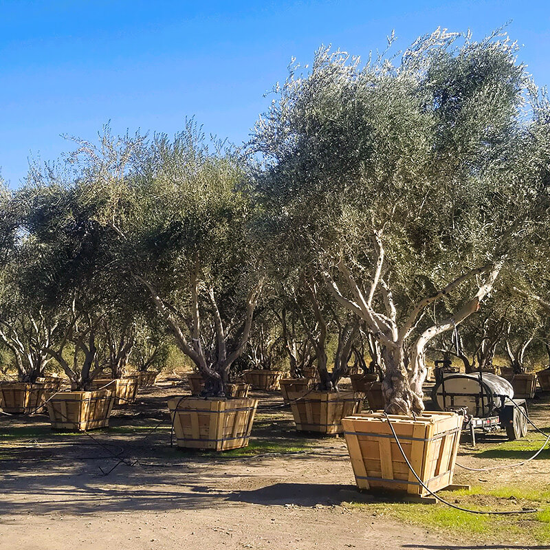 Olive Trees For In California