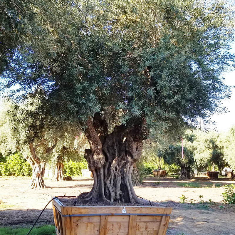 Large Olive Trees For Sale In California 530 524 8780