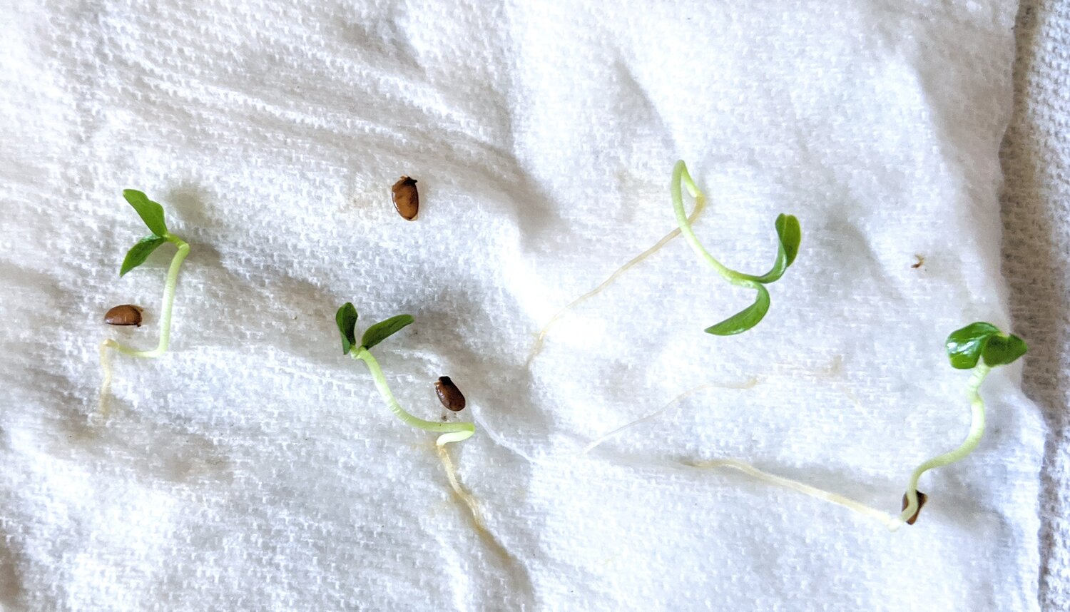 Fatsia Japonica sprouts germinated via the paper towel method. You should pot them up before they look like this, I just kept them here like so for fun :)