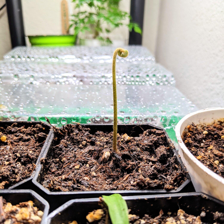 Zamia Furfuracea sprout ~1-2 weeks old