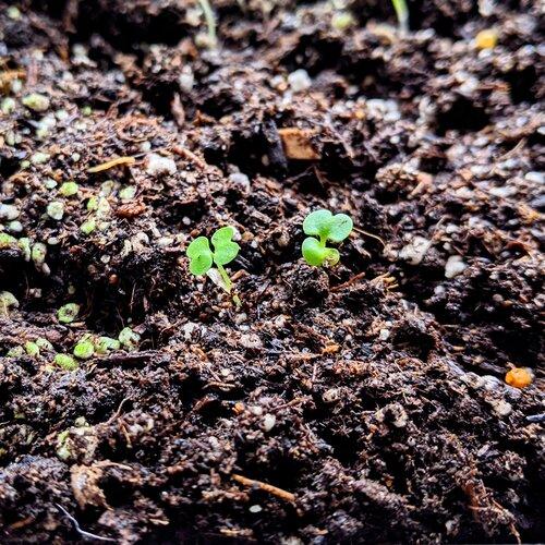 Brand new Radermachera Sinica Sprouts