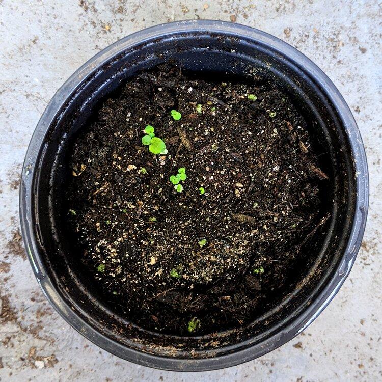 African Violets 2-3 weeks in!
