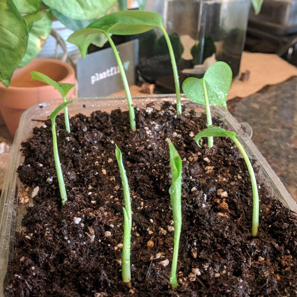 Brand new Monstera Deliciosa seedlings