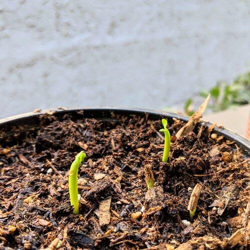 ~1 week old Desert Rose Seedlings