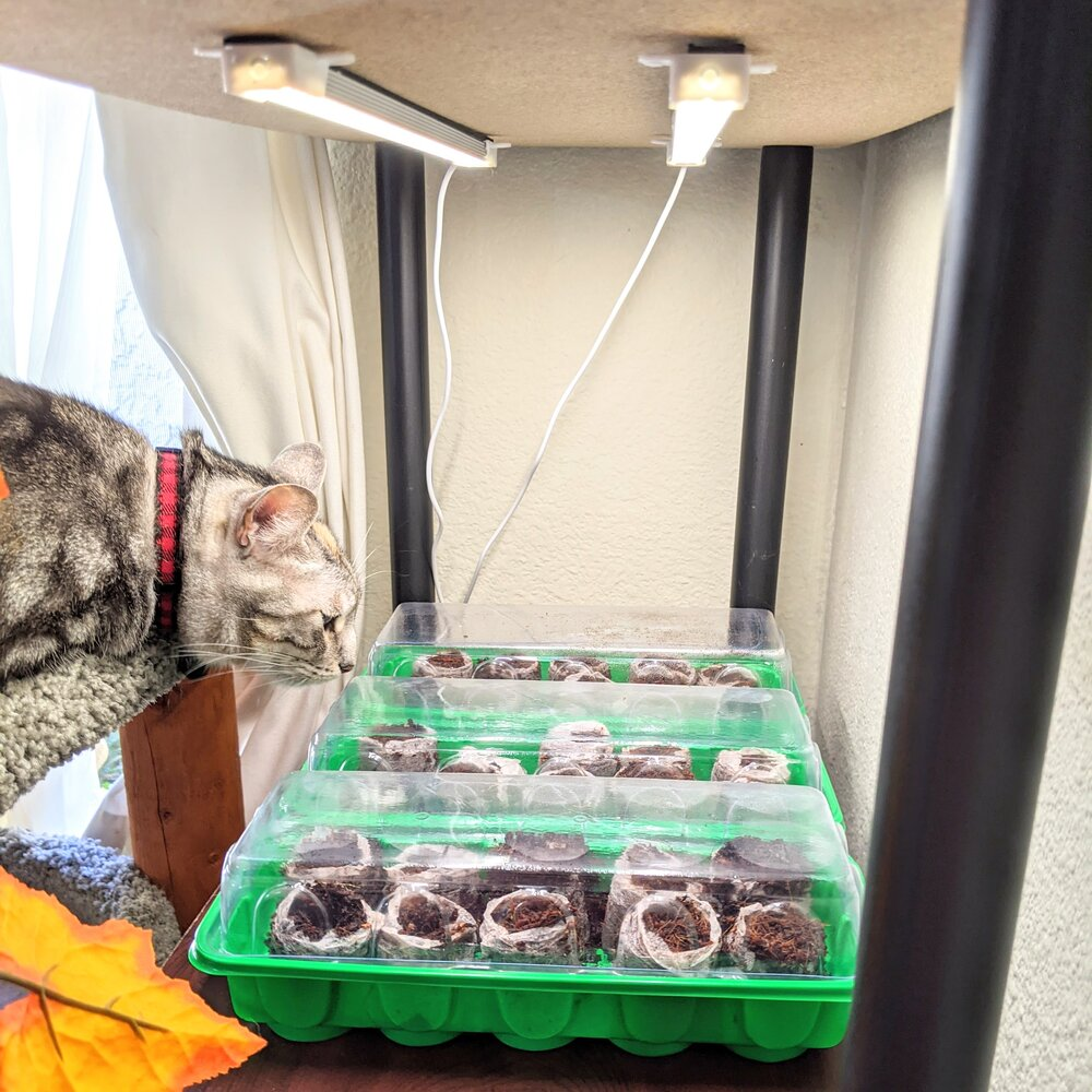Mini greenhouses , grow lights, and a soon-to-be-added heat mat :) The ideal setup! It also keeps Maia the Plant Killer away…