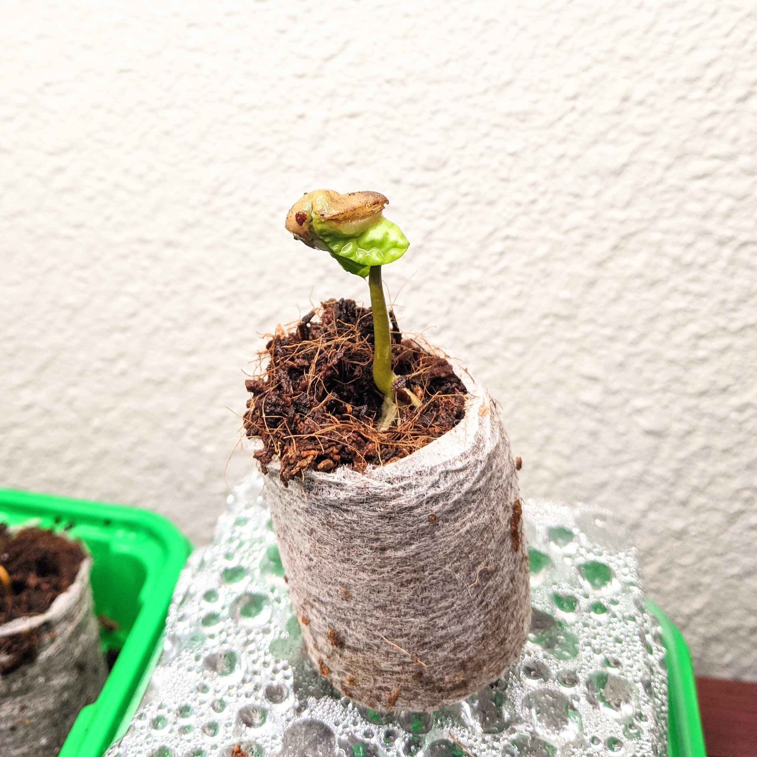 A happy brand new Coffea Catura 'Dwarf Coffee' seedling! See how moist it looks on the surface? It really needs that humidity to break out of the tough shell of the seed!