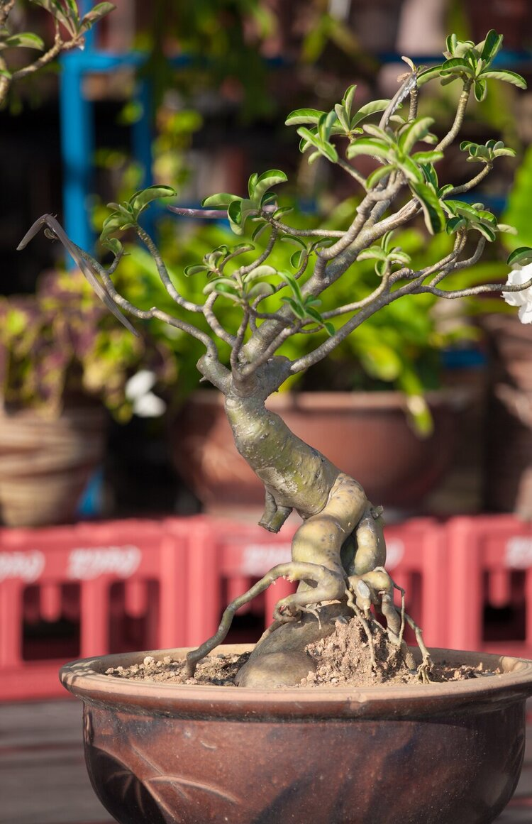 A quirky-looking desert rose