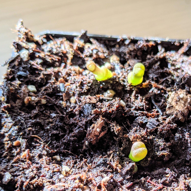Lithops Seedlings