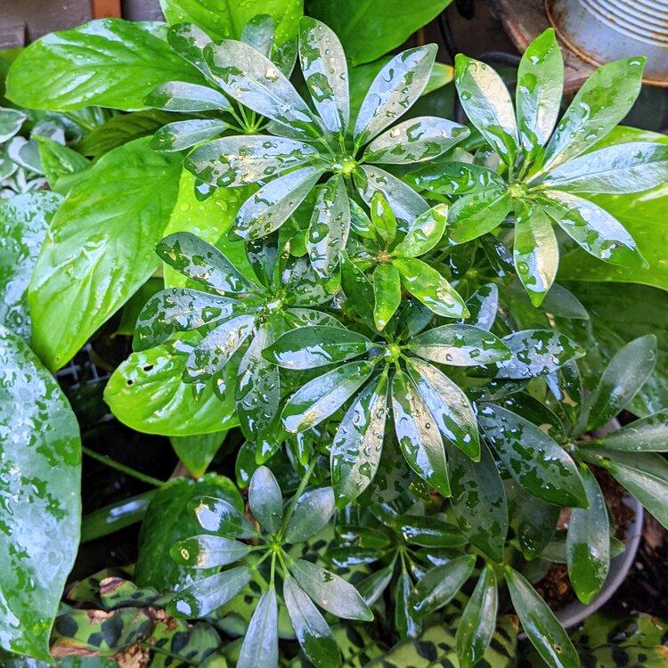 Dwarf Umbrella Plant