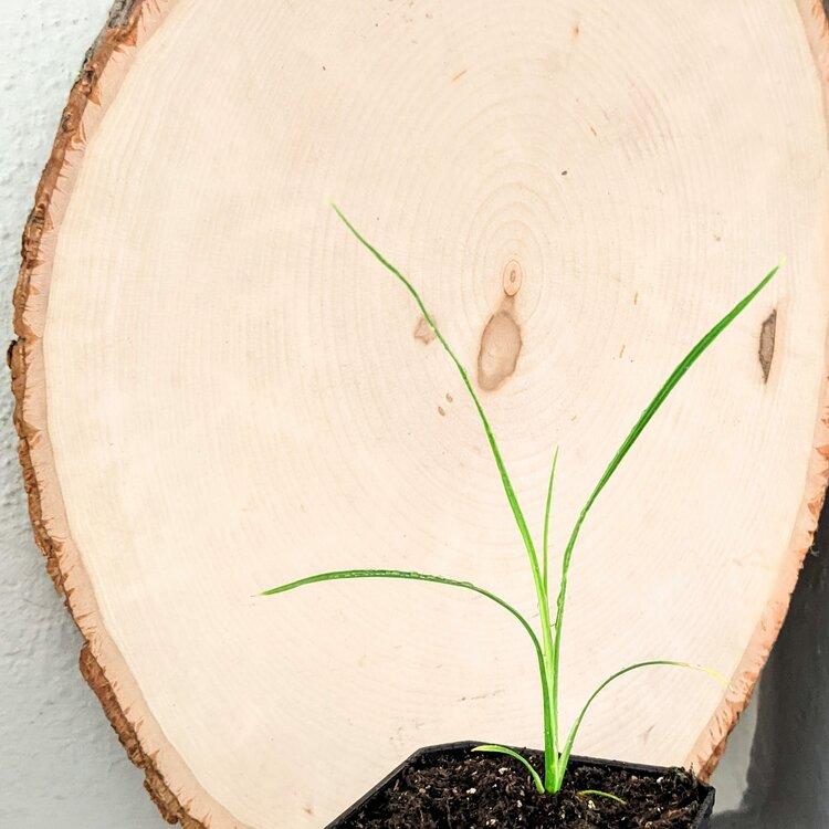 Dracaena Spike Seedling