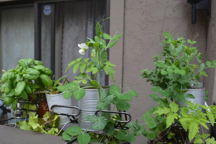 Basil, aloe, lettuce, peas & tomatoes in this shot!