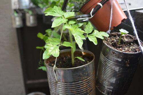 Tomato plant in hanging garden