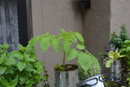 Tomato in a hanging garden