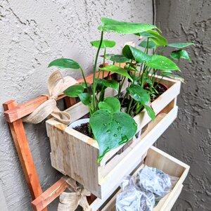 Monstera seedlings in hanging planter