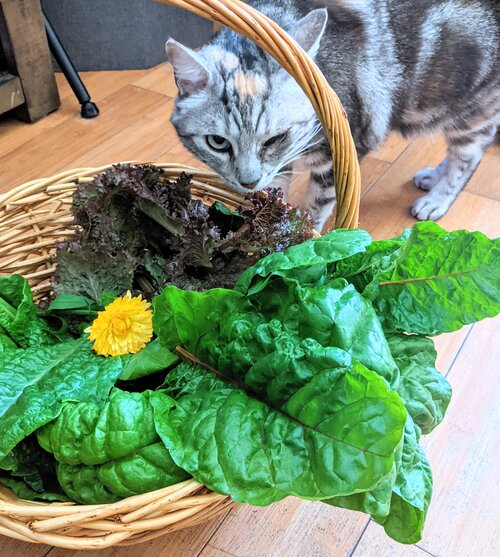 Maia the cat and a leafy greens harvest