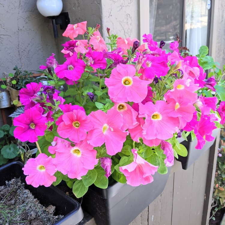 Petunia flowers in a vertical garden