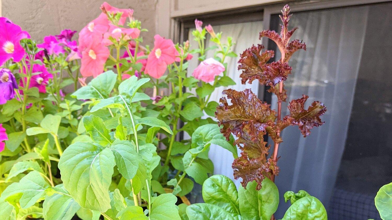 Petunia flowers on a patio wall