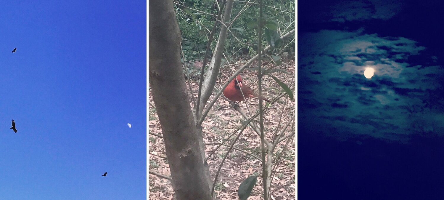 Image Description: Recent scenes of nature that the author has noticed. The first image is of a group of hawks circling the sky during the daytime but with the moon in the background. The second image is of a red cardinal sitting on a tree branch at face-level. The third image is of a full moon at night, with an eerie light of clouds around it. All three photos by Erica Ginsberg. All rights reserved.
