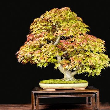 Upcoming Bonsai Events The Pennsylvania Bonsai Society