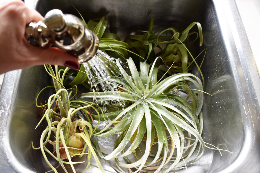 How To Care For Air Plants Tillandsia Watering Fertilizing