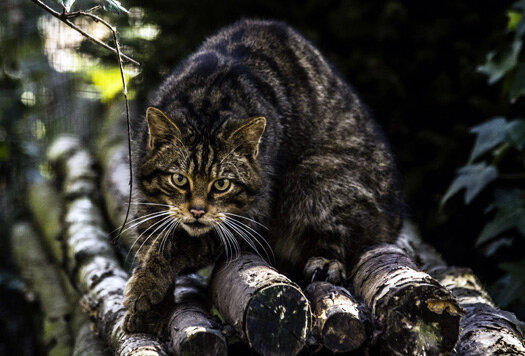 Wildcat Haven - Saving Scottish Wildcats
