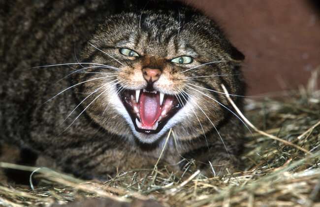 Scottish Wildcat Wildcat Haven