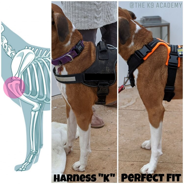 Think of a dog's joints and gait when buying a harness (  The K9 Academy: Behaviour and Training)