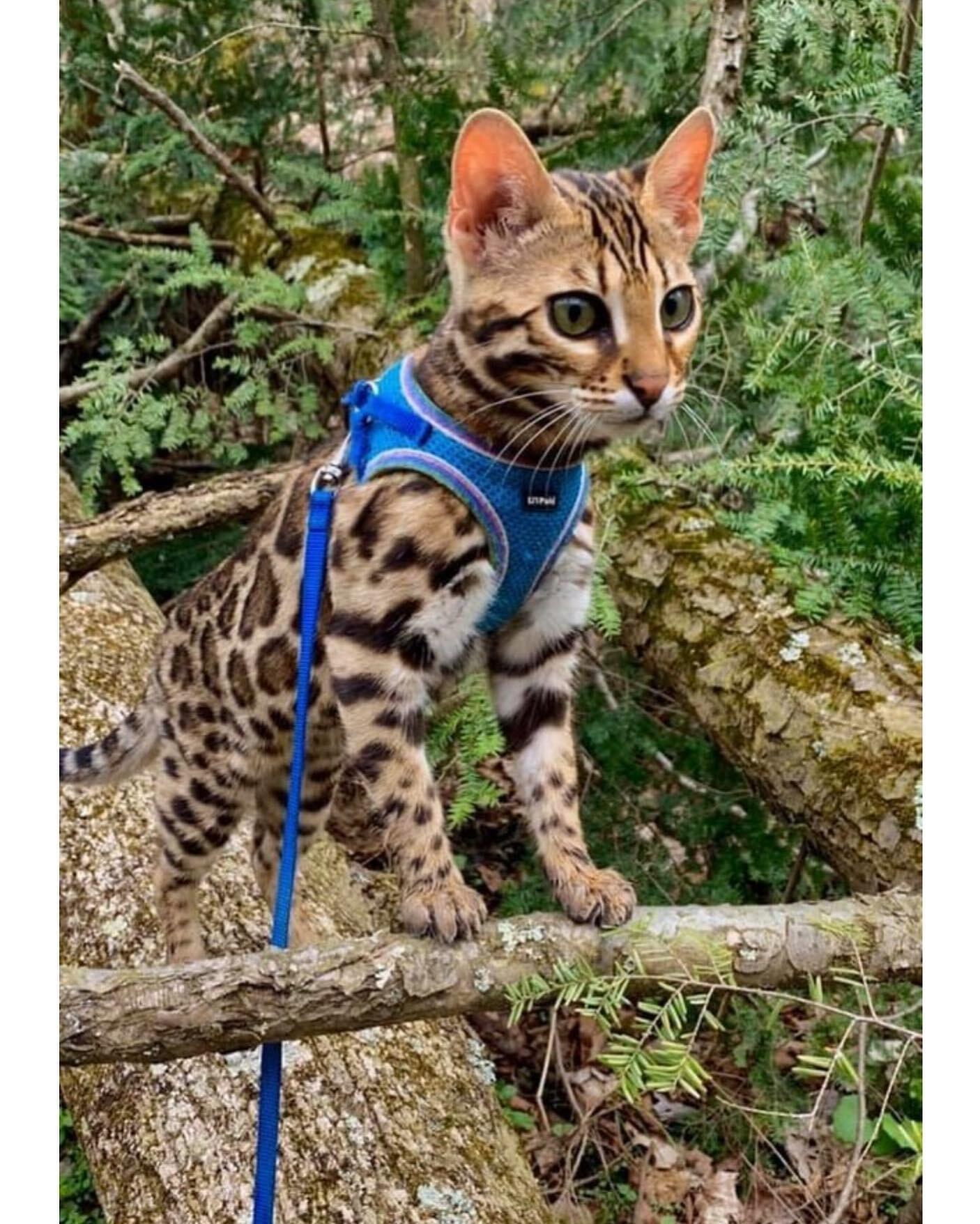 Expert Savannah Cat Breeders F1 Savannah Kittens