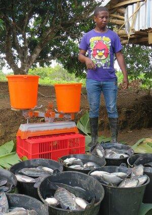 Veiing av oppdrettsfisken tilapia