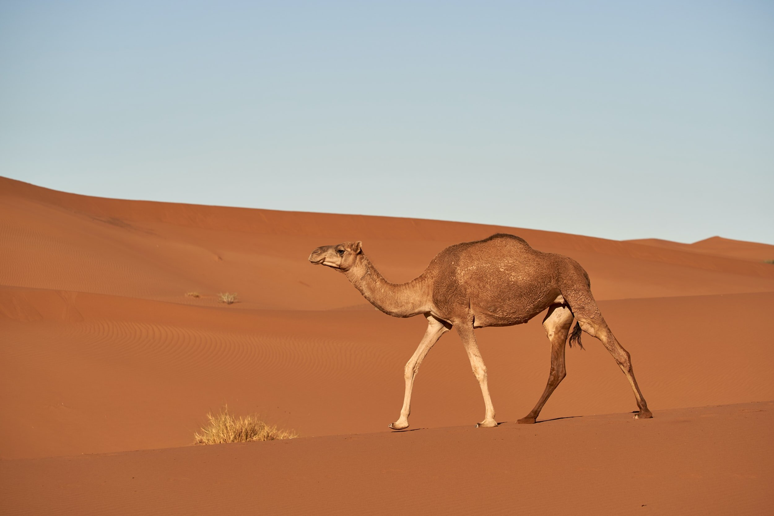 The camel is a common animal paired with the perl programming language — on the Perl website and on book covers.