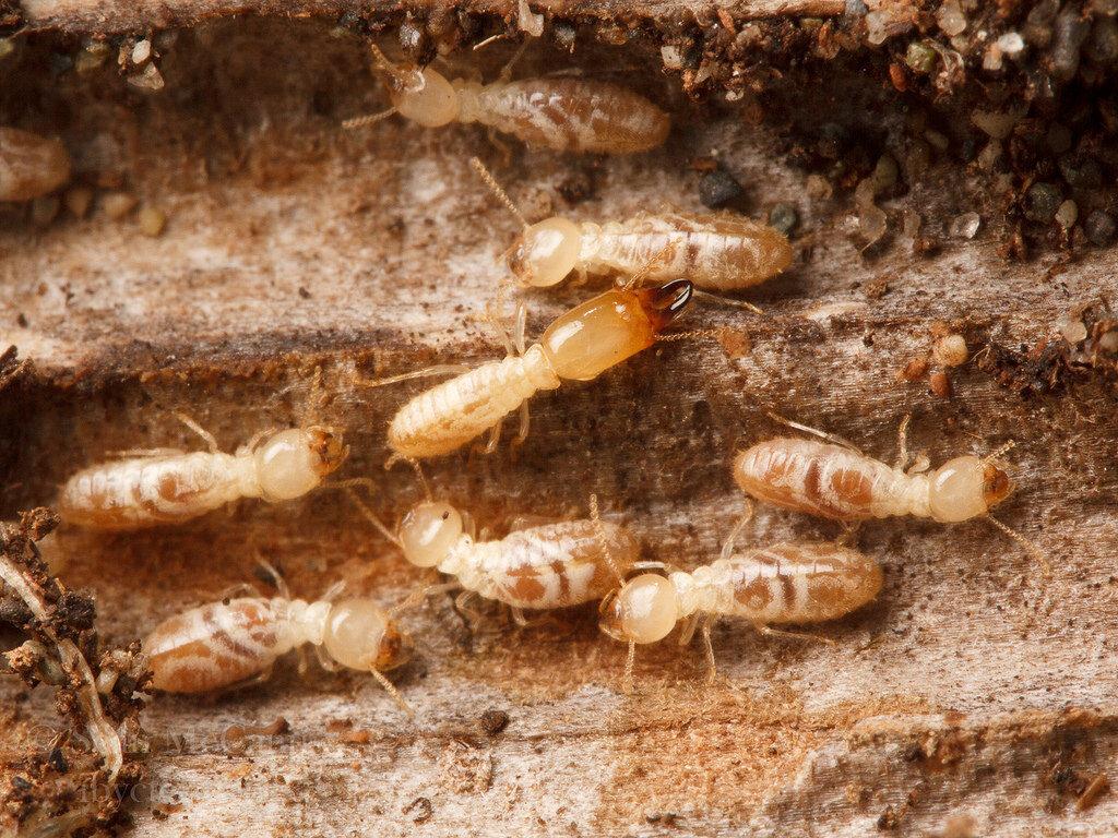 Termites In Central Oregon Alpine Pest Management