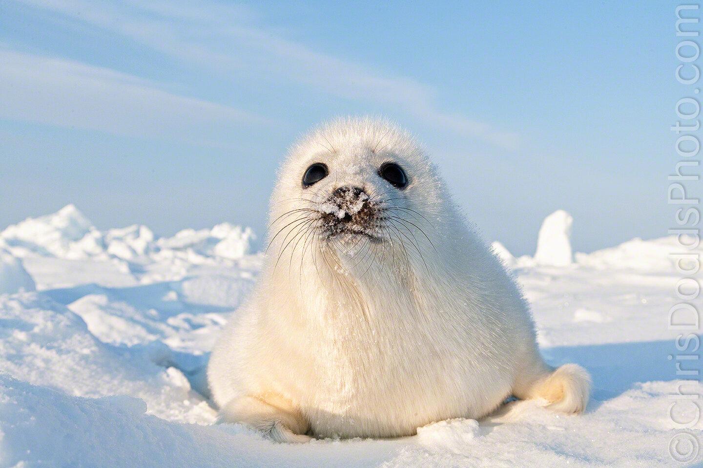 Curious Harp Seal Pup Nature Photography Blog