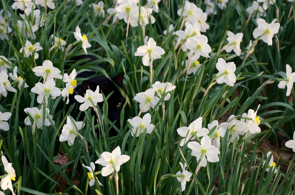 Daffodils bloom in abundance and a black cat hides in the tall stems. The cat's green eyes blend into its environment and its black fur convincingly mimics the shadows in between the plants. Tess notices the cat as it notices her.