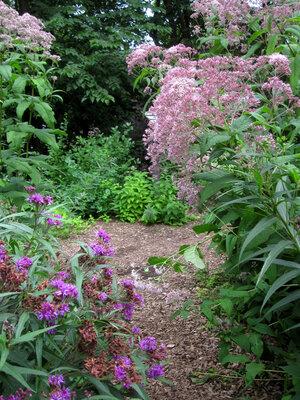 Sweet Joe Pye Weed Eupatorium Purpureum Blazing Star Gardens