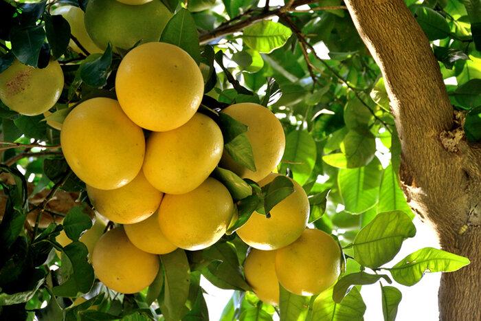 Grapefruit_cluster.jpg