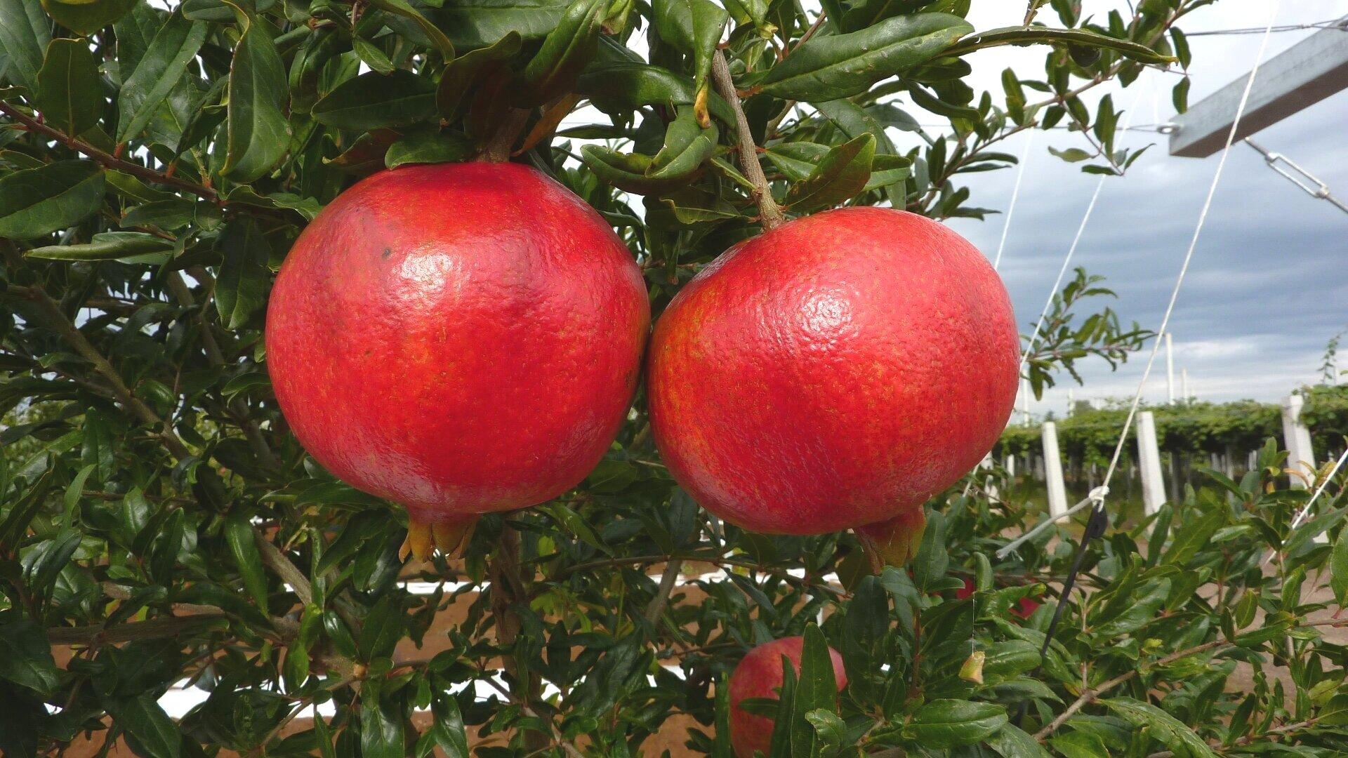 Piante Da Frutto Nane exoticplant vivaio di francesco maule