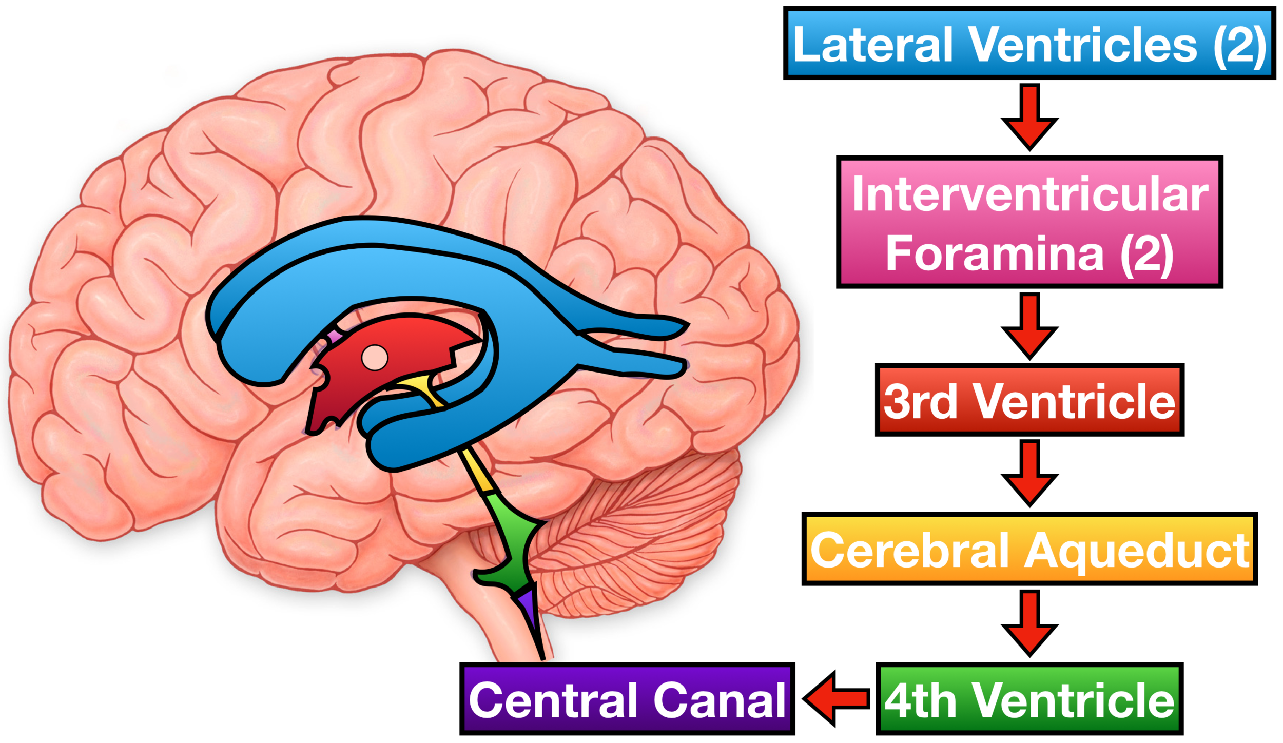 Ventricles of the Brain Labeled Anatomy, Function, CSF Flow ...