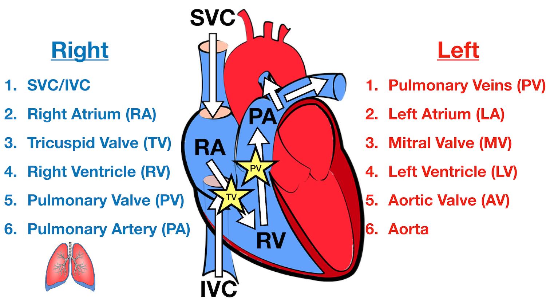 Heart Blood Flow   Simple Anatomy Diagram, Cardiac Circulation ...