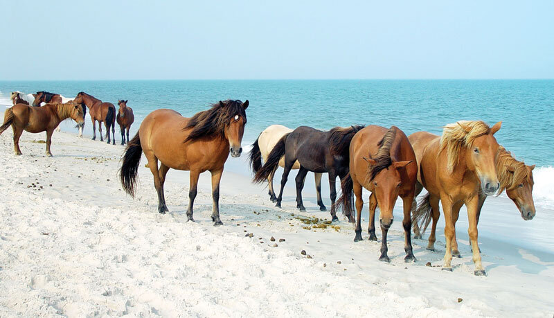 The wild horses roaming the dunes and beaches of Assateague Island in Maryland don't seem to mind people . . . but they are much happier to see each other.