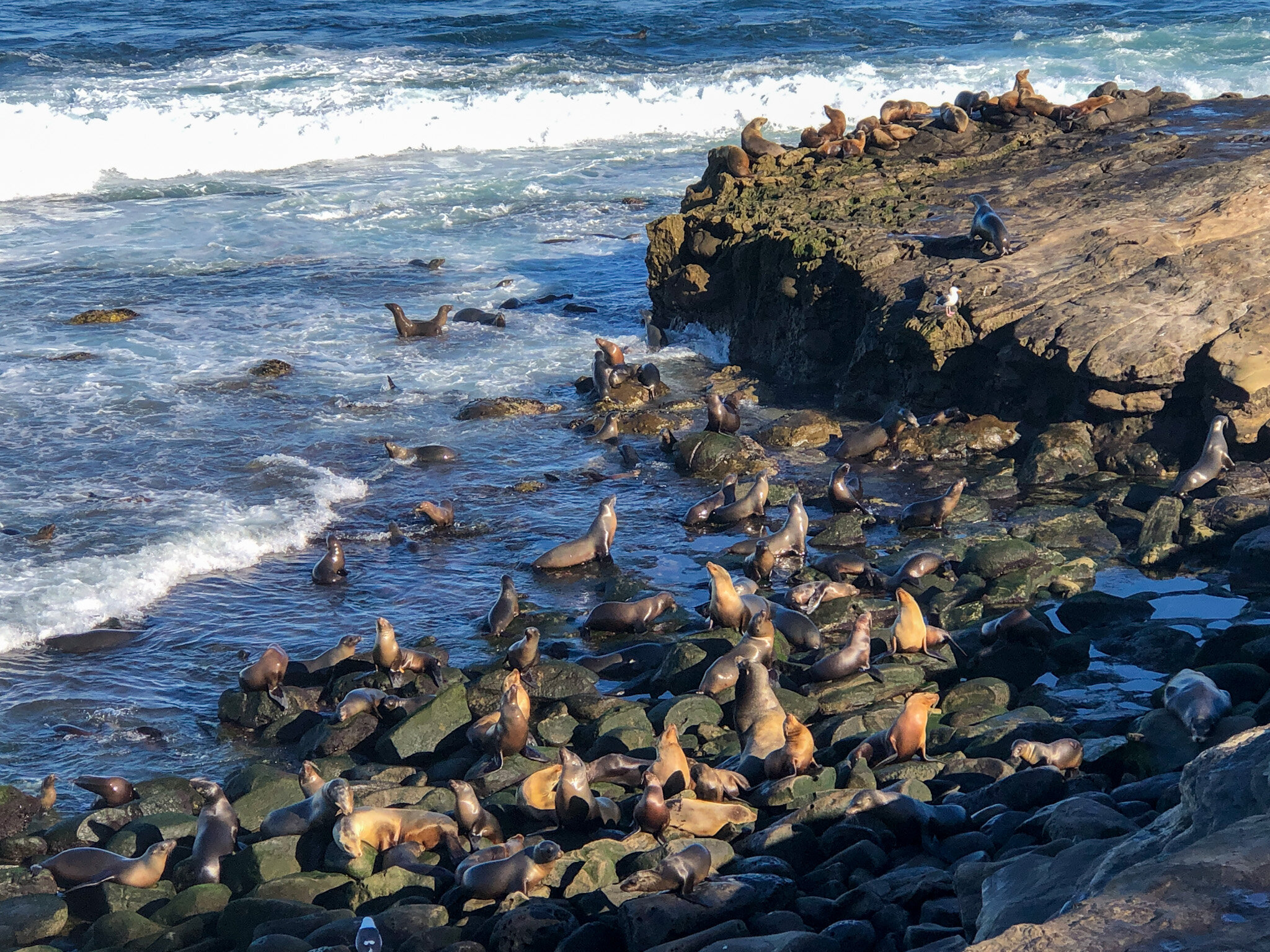 Sea lions just a short walk from the Grande Colonial Hotel in La Jolla