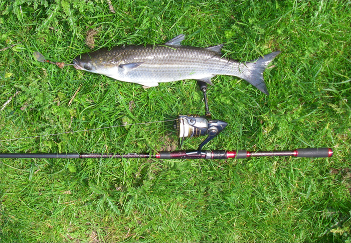 Thin lipped grey mullet caught on a baited spinner