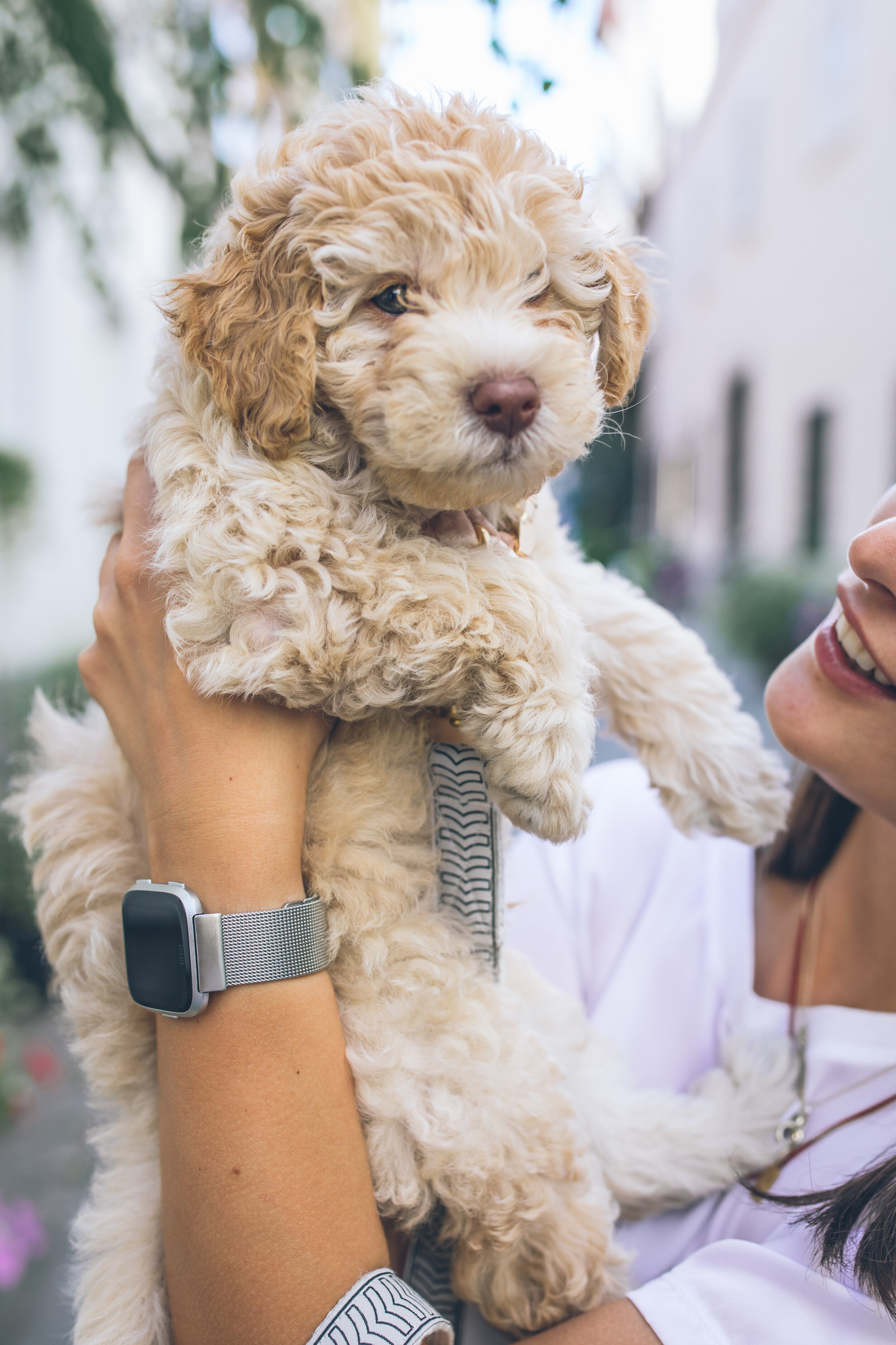 Miniature Goldendoodles Family Bred Puppies