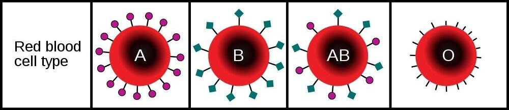 Figure description: You blood type, or blood group, is inherited from your parents. The blood groups are defined by different molecules on the surface of your red blood cells, as illustrated above. Image from    InvictaHOG/Wikimeida Commons   .