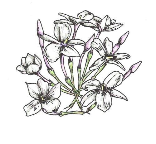flor de jazmin dibujo