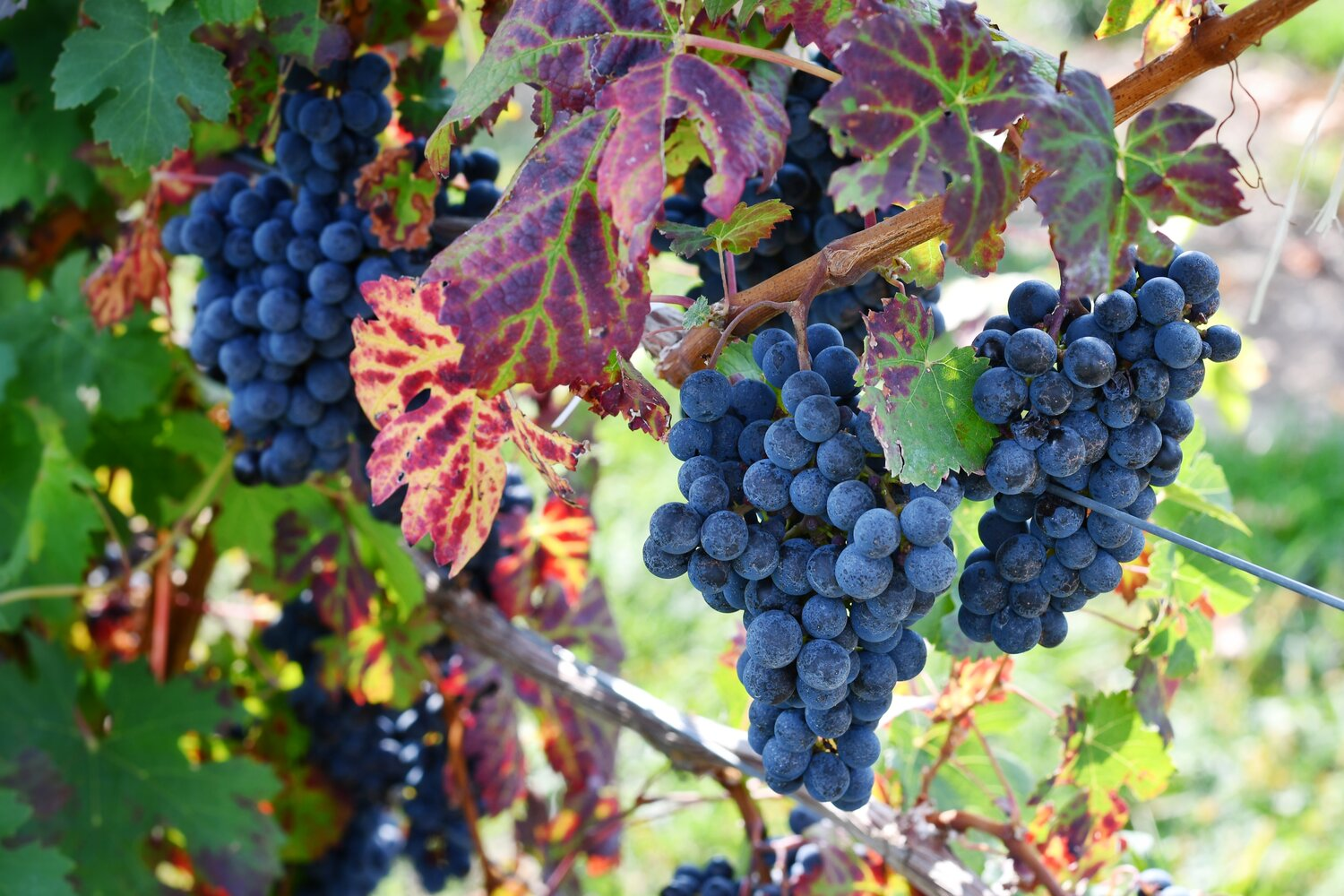 Merlot IGP 2019 Matile — WINE AT HOME