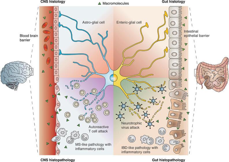gut-brain-barrier-blood-brain-barrier.jpg